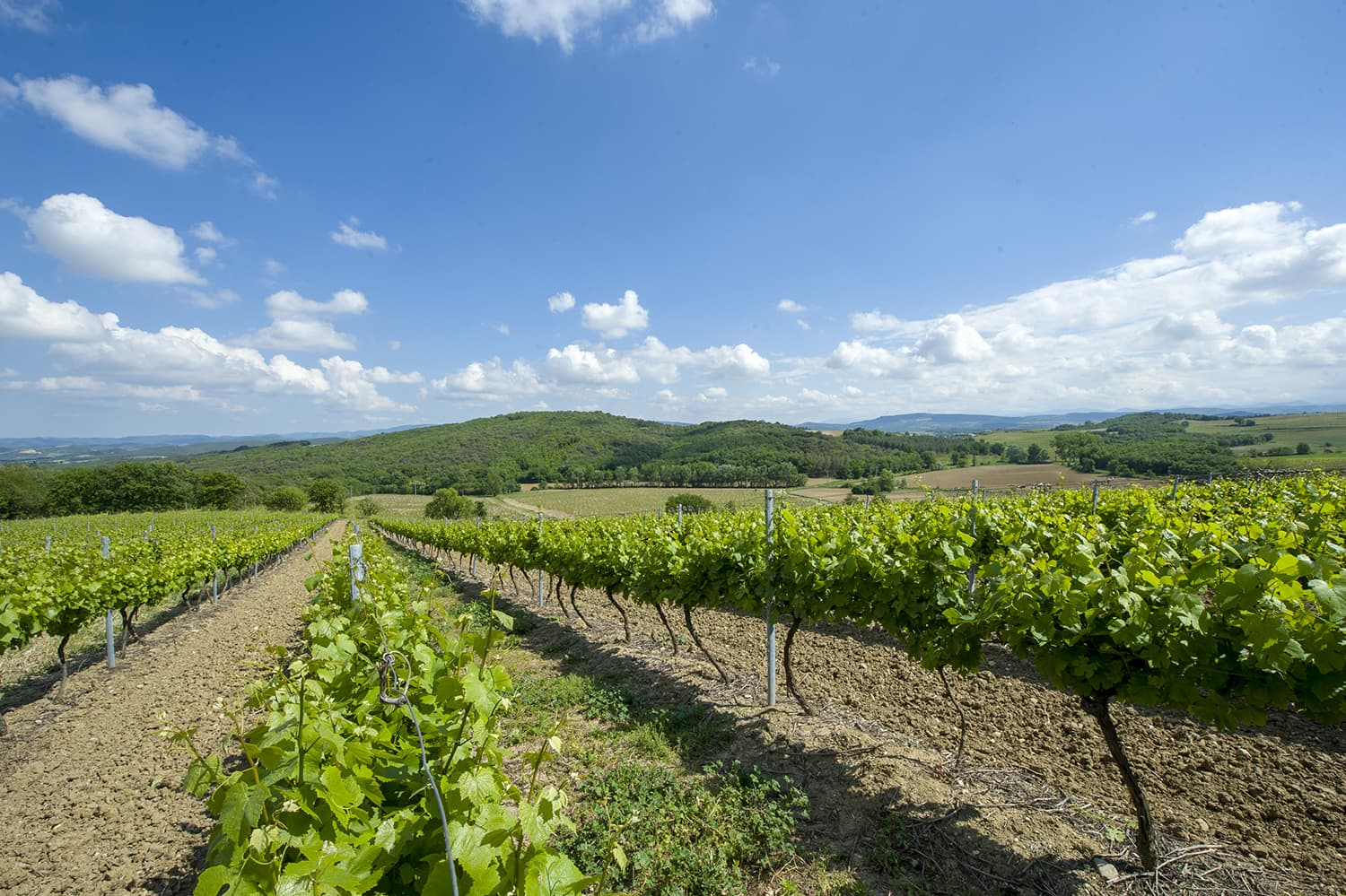 Malepere vineyards in the Languedoc
