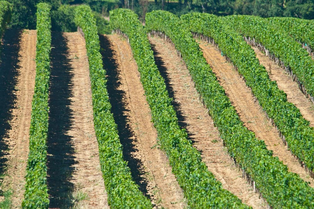 Vineyards in South West France