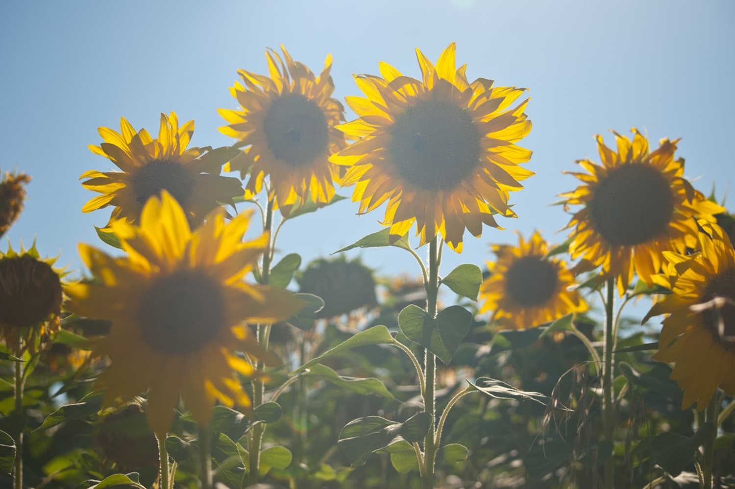 Sunflowers in South West France
