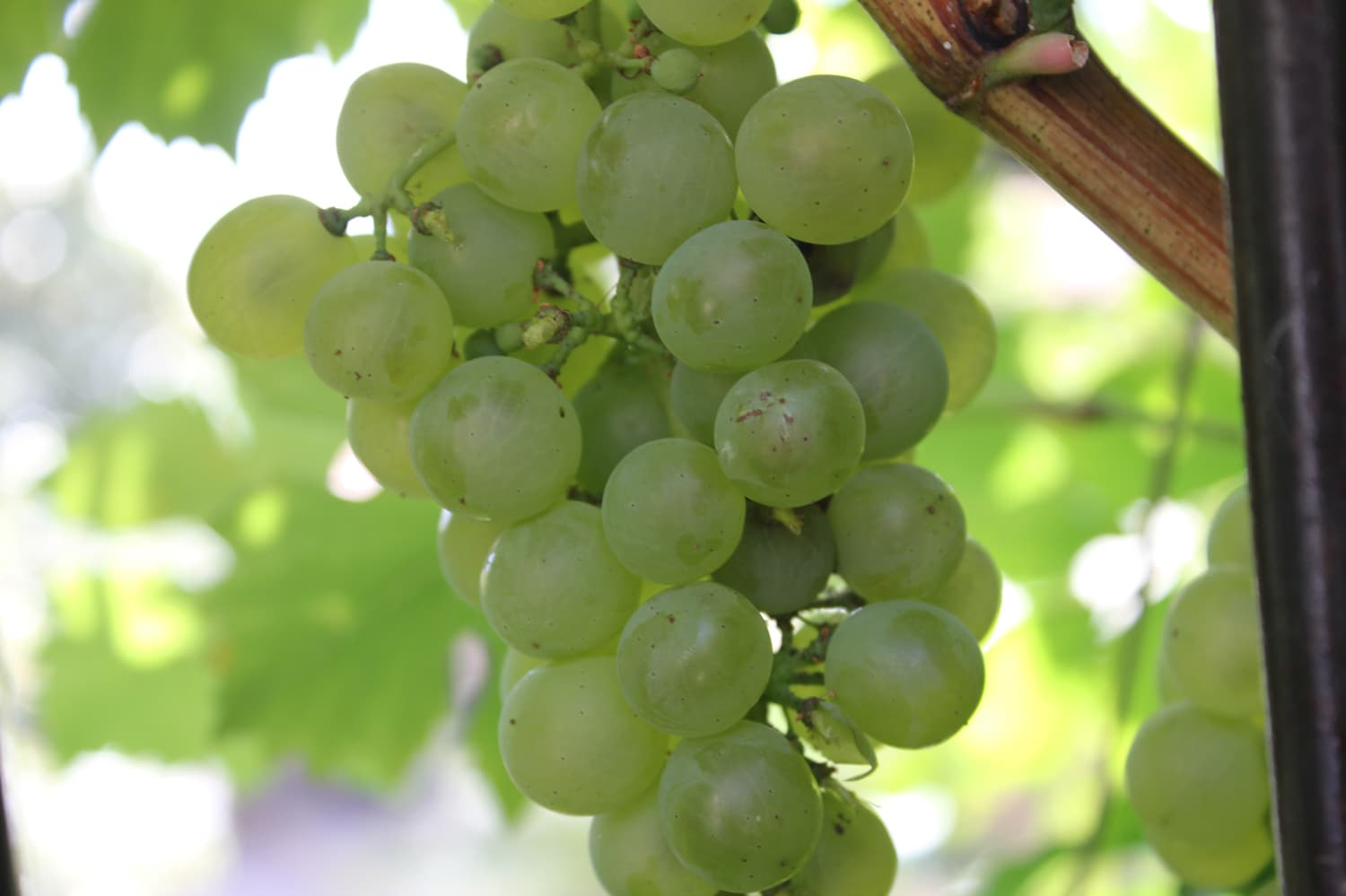 French grapes in garden